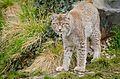 Lynx (26151266335).jpg