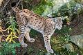 Lynx Lynx (10597310204).jpg