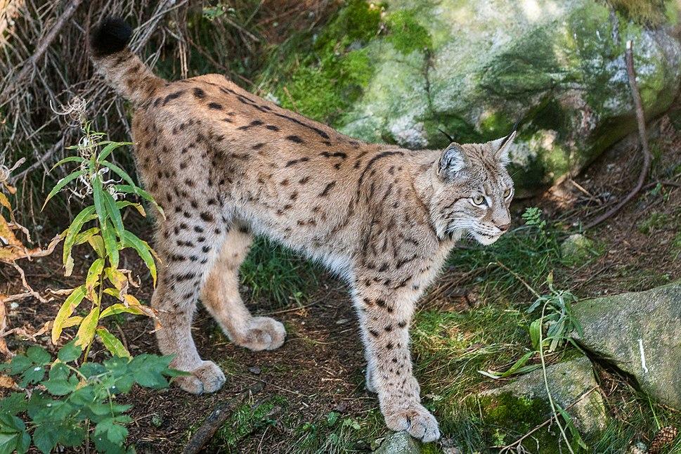 Lynx Lynx (10597310204)