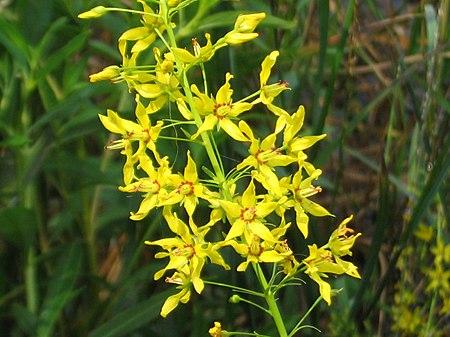 Wikijunior Summer Flowers Of Northern New England