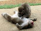 Macaca fuscata Iwatayama.jpg