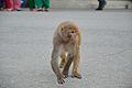 Macaca mulatta - Shimla 2014-05-07 1217.JPG