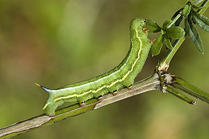 Hummingbird hawk-moth - Larva of Macroglossum stellatarum