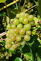 Madeleine Angevine grapes.jpg