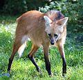 Maehnenwolf Chrysocyon brachyurus Tierpark Hellabrunn-12.jpg