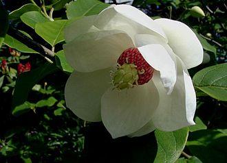 Natural monuments of North Korea - Image: Magnolia sieboldii