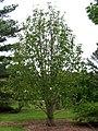 Magnolia officinalis habit.jpg