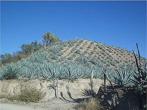 Mezcal - A typical maguey landscape