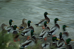 Red Cedar River (Michigan) - Image: Mallards in motion