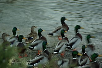 Red Cedar River (Michigan) - Image: Mallards in motion