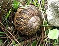 Mallorca Snail 1b.jpg