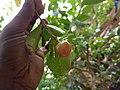 Malpighia glabra- Acerola, Barbados Cherry, Cerejeira, Malphigia.jpg