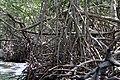 Malpighiales - Rhizophora mangle - 28.jpg