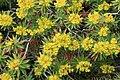 Malta - Mgarr - Gnejna Bay - Euphorbia dendroides 01 ies.jpg