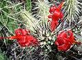 Mammillaria (Cochemia) poselgeri.jpg