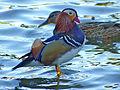Mandarin Duck (Aix galericulata) (10930036784).jpg