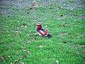 Manderin duck 7-2-2004 (6317643691).jpg