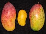 Mango VALENCIA PRIDE ATAULFO VALENCIA PRIDE Asit.jpg