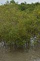 Mangrove - Godkhali - South 24 Parganas 2016-07-10 4936.JPG