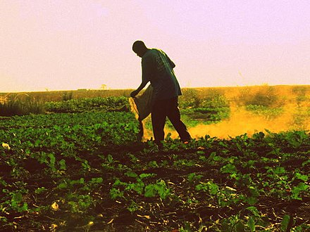 Spreading manure by hand in Zambia Manuring a vegetable garden.jpg