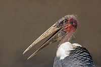 Marabou stork (Leptoptilos crumenifer) head.jpg