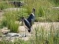 Marabou storks (393946914).jpg