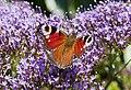 Mariposa (Inachis io), jardín botánico de Tallin, Estonia, 2012-08-12, DD 03.JPG