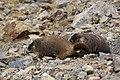 Marmota flaviventris (29862435206).jpg