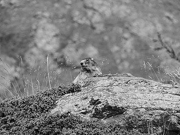Marmotte des Alpes (marmota marmota).jpg