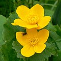 Marsh marigolds (Caltha palustris), Lydiard Park, Swindon - geograph.org.uk - 1249728.jpg