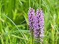 Marsh orchids (14375375001).jpg