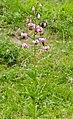 Martagon Lily (Lilium martagon) (34898679503).jpg