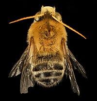Martinapis luteicornis, M, back, Wilcox, AL 2015-11-03-17.45.12 ZS PMax UDR (22877771446).jpg