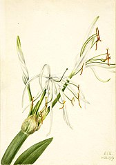 Spider Lily (Hymenocallis rotata)