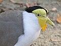Masked Lapwing (Vanellus miles) RWD2.jpg