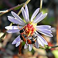 Mason Wasp on Bushy Aster (5250200700).jpg