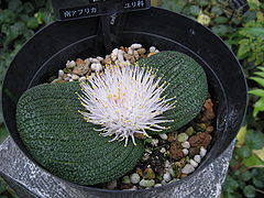 Massonia longipes1.jpg