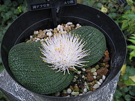 Massonia longipes