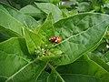 Mating ladybugs (Coccinellidae sp.) on Mirabilis plant 2.JPG