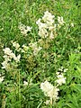 Meadowsweet (Filipendula ulmaria), Higher Marsh - geograph.org.uk - 1379145.jpg