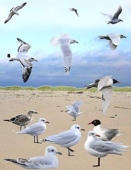 Mediterranean Gull from the Crossley ID Guide Britain and Ireland