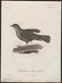 Megalophonus rufipileus - 1796-1808 - Print - Iconographia Zoologica - Special Collections University of Amsterdam - UBA01 IZ16100385.tif