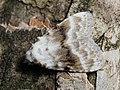 Meganola albula - Kent black arches - Карликовый шелкопряд беловатый (30021624638).jpg