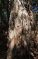 Melaluuca leucadendra bark.jpg
