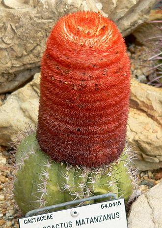 Cephalium - Image: Melocactus matanzanus 1