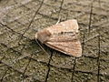 Mesoligia furuncula (2945115559).jpg