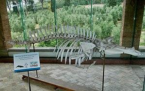 Andrews' beaked whale - Skeleton in the collection of Museo di storia naturale e del territorio dell'Università di Pisa.