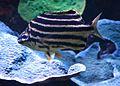 Microcanthus strigatus Aquarium tropical du Palais de la Porte Dorée 10 04 2016 1.jpg
