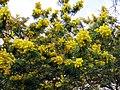 Mimosa scabrella 01.jpg
