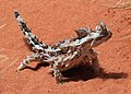 Moloch horridus, Thorny Devil, Alice Springs.jpg